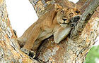 Lioness ~ Cat's Eye View