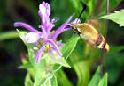 Snowberry-Clearwing-Hummingbird-Moth.jpg