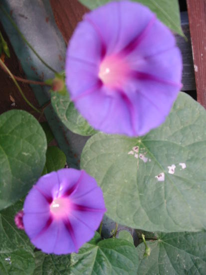 Morning Glories - 09-24-10 004.JPG