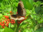 Free flying Kerala Butterflies ! Contd.
