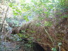 66 A once proud Yellowwood_ Possibly older than 800.jpg