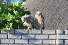 ds_Baby eagle owls grooming.jpg