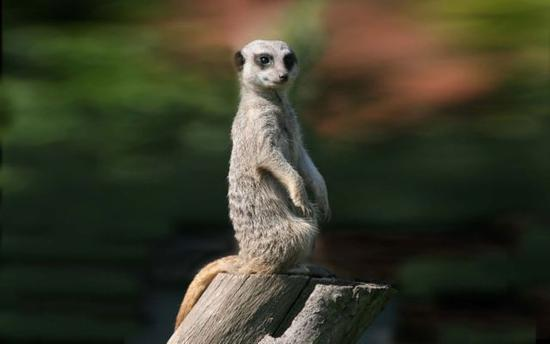 meerkat-lookout-pictures-animals-widescreen-wallpapers.jpg