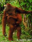 Orangutans stay with their mothers 7 years