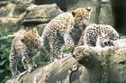 Three Young Leopards