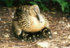 Mother & Chicks