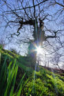 Contorted oak in spring