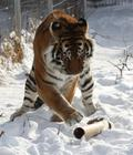 playing tiger