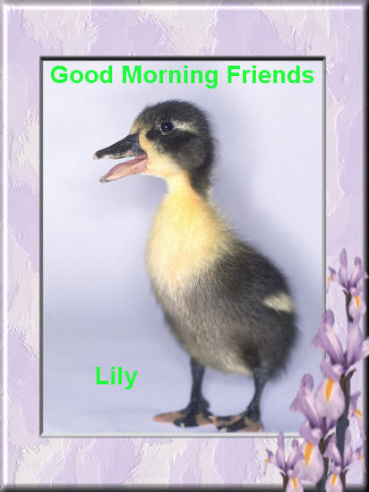 good morning friends--duck.jpg