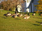 Geese In The Yard
