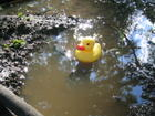 Duck goes for a float.JPG