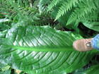Large Skunk Cabbage leaf