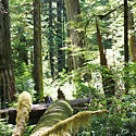 Old Growth Forest, Upper Walbran