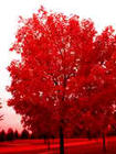 Flaming Red Tree