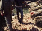 sheep slaughter