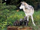 Wolf mother with puppies