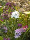 Dianthus - Seed Heads