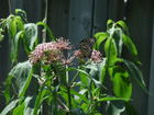 Butterfly Weed & Monarch