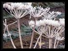 Winter Cow Parsley