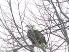 Eagles in our Basswood Tree