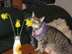 Tigger and the daffodils