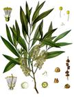 19th century illustration Melaleuca