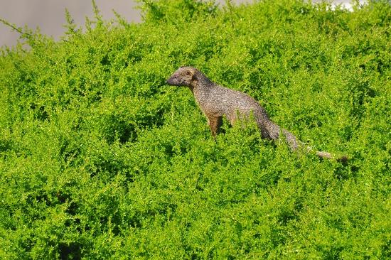 Mongoose in mousebush
