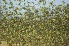 flock of budgerigars w Qld