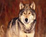 Greywolf Howl