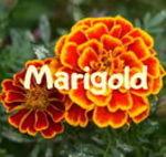 Marigold A.