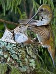 Charlotte Hummingbird
