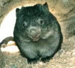 Wombat Queen