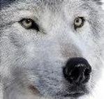 Thunderr Wolf