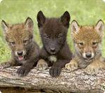 Wolf LuvR