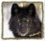 Wolfweeps Pommawolf