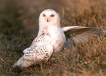 Sue ( Snow Owl) Clayton