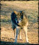 ThornLand Wolfdogs