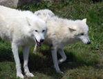 whitewolf maiden
