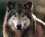 Fae Wolf