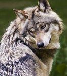 Wolfwalks W.