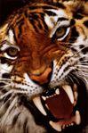 Omega Tiger