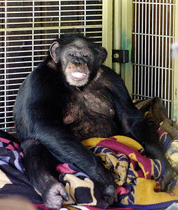 Animals tags chimp attacked
