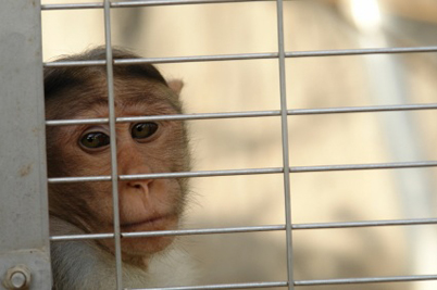 Monkeying Around with Animal Testing