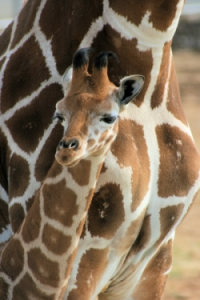 See the Baby Giraffes At Tanganyika Wildlife Park and Help T