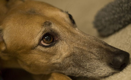 Running for Their Lives: End Greyhound Racing in Florida