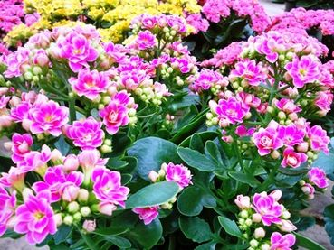 Kalanchoe: The bright-blooming succulent that keeps going an ... on solanum blooming plant, orchids blooming plant, kalanchoe blooming time, violet blooming plant,
