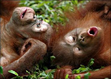 Saving Orangutans Befo...