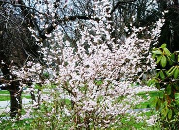 White spring flowering shrubs image collections flower decoration forsythia pretty in pink care2 news network green lifestyle tags forsythia pink forsythia white forsythia planting mightylinksfo