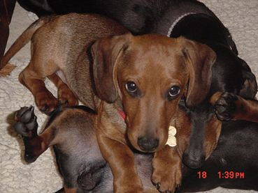Tyler: 4-month-old dachshund puppy for adoption from Souther