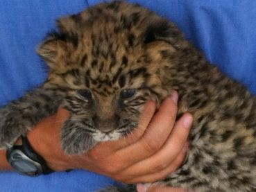 Rare baby leopard born at Tanganyika Wildlife Park - Care2 News Network